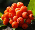 Vogelbeere Eberesche Baum Fruechte orange rot Sorbus aucuparia 05