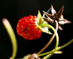 Wald Erdbeere Frucht rot Fragaria vesca 02