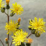 Wald Habichtskraut Bluete gelb Hieracium sylvestris 06