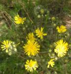 Wald Habichtskraut Bluete gelb Hieracium sylvestris 09
