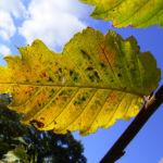 Wald Hasel Blatt Corylus avellana 01