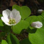 Wald Sauerklee Oxalis acetosella 03