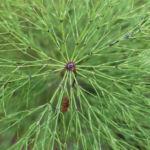 Wald Schachtelhalm gruen Equisetum sylvaticum 01
