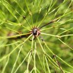 Wald Schachtelhalm gruen Equisetum sylvaticum 04