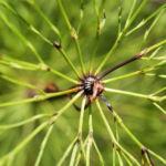 Wald Schachtelhalm gruen Equisetum sylvaticum 05