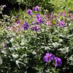 Wald Storchschnabel Bluete lila Geranium sylvaticum 01