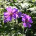 Zurück zum kompletten Bilderset Wald-Storchschnabel Blüte lila Blatt Pelargonie sylvaticum