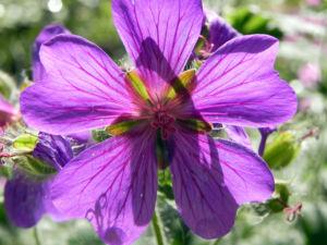 Wald Storchschnabel Bluete lila Geranium sylvaticum 07