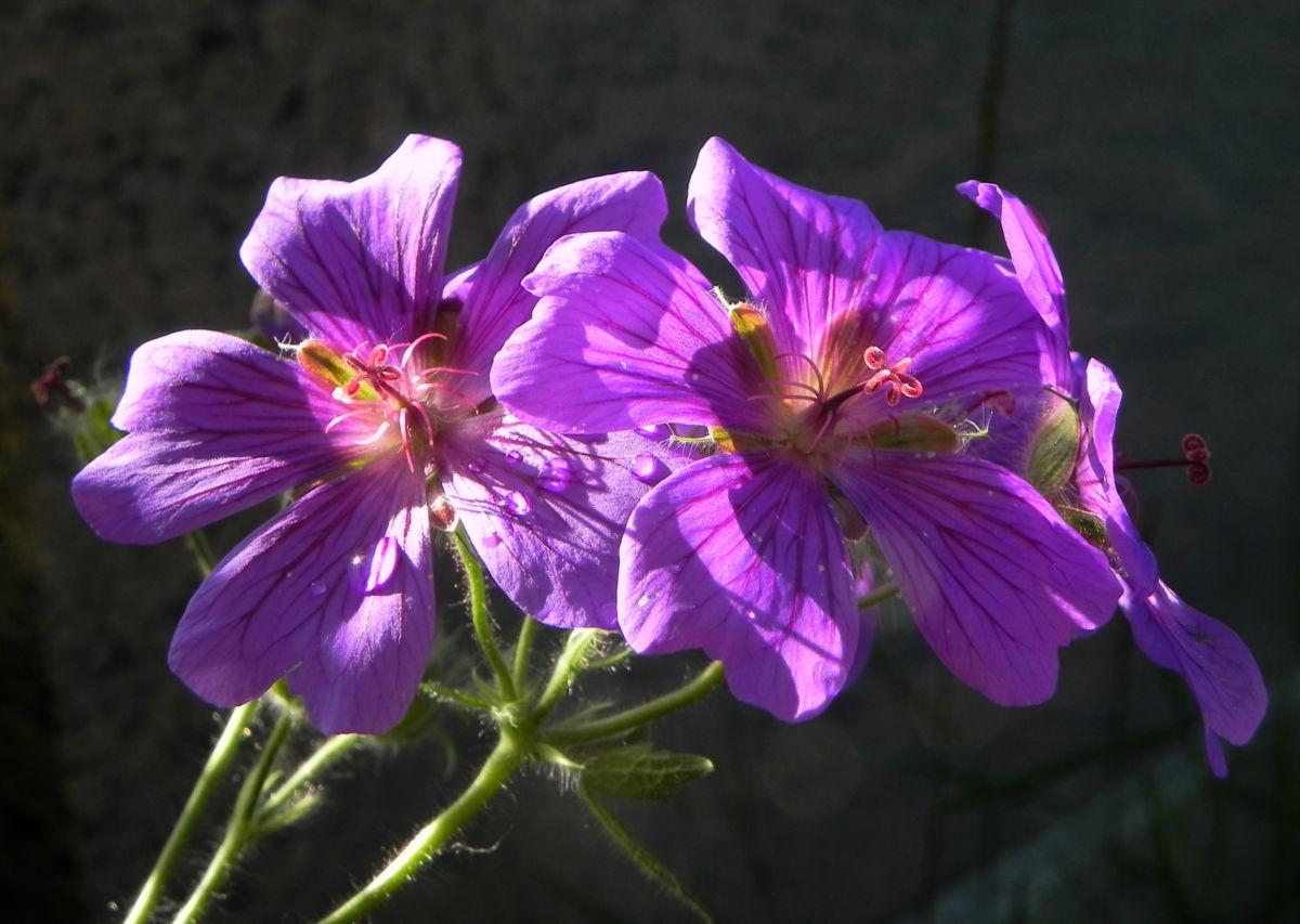 Wald Storchschnabel Bluete lila Geranium sylvaticum