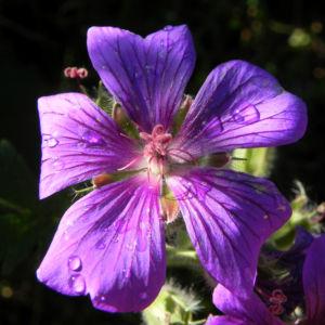 Wald Storchschnabel Bluete lila Geranium sylvaticum 14
