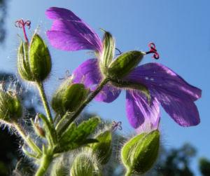 Wald Storchschnabel Bluete lila Geranium sylvaticum 16