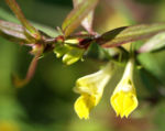 Bild:  Wald-Wachtelweizen Blüte gelb Melampyrum sylvaticum