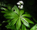 Waldmeister Blatt gruen Galium odoratum 01