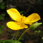Waldmohn Blume Bluete gelb Hylomecon japonica 03