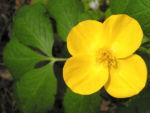 Waldmohn Blume Bluete gelb Hylomecon japonica 04