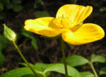 Waldmohn Blume Bluete gelb Hylomecon japonica 05