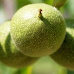 Walnuss Baum Blatt Frucht gruen Juglans regia 01