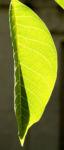 Bild:  Echte Walnuss Baum Blatt Frucht grün Juglans regia