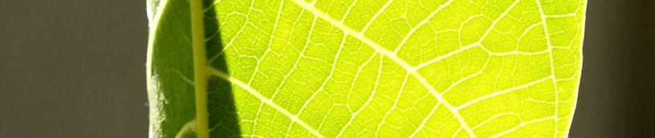 echte-walnuss-baum-blatt-frucht-gruen-juglans-regia