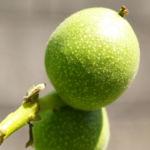Walnuss Baum Blatt Frucht gruen Juglans regia 07