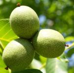 Walnuss Baum Blatt Frucht gruen Juglans regia 11