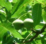 Walnuss Baum Blatt gruen Juglans regia 02