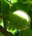 Walnuss Baum Blatt gruen Juglans regia 04