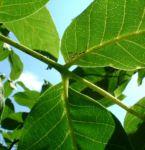 Walnuss Baum Blatt gruen Juglans regia 05
