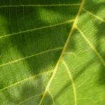 Walnuss Bluete Frucht gruen Juglans Regia 02