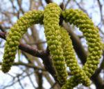 Bild:  Echte Walnuss Blütenrispe Frucht grün Juglans regia