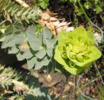 Walzen Wolfsmich Scheinbluete gelblich Euphorbia myrsinites 01 1