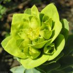 Walzen Wolfsmich Scheinbluete gelblich Euphorbia myrsinites 04 1