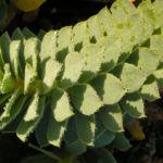 Walzen Wolfsmilch immergruen Blatt gruen Euphorbia myrsinites 06
