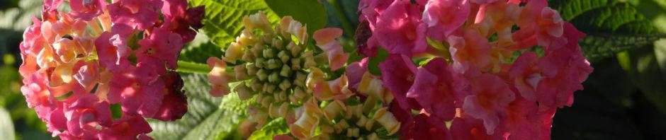 wandelroeschen-bluete-pink-gelb-lantana-camara
