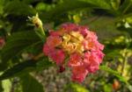Wandelroeschen Bluete pink gelb Lantana camara 08