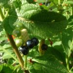 Wandelroeschen Frucht Lantara camara 03