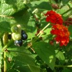 Wandelroeschen Frucht Lantara camara 04