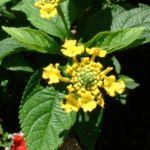 Wandelroeschen gelb Lantara camara 04