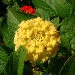 Wandelroeschen gelb Lantara camara 05