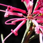 Warty fruited Hakea Bluete rosa Hakea verrucosa 07