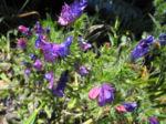 Wegerichblaettriger Natternkopf Bluete blau lila Echium plantagineum 06