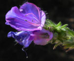 Wegerichblaettriger Natternkopf Bluete lila Echium plantagineum 17