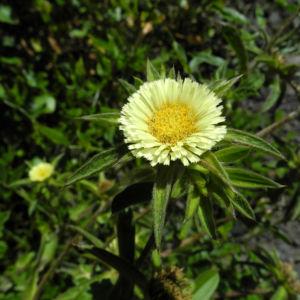 Weidenblaettrige Eberwurz Bluete gelb Carlina salicifolia 00