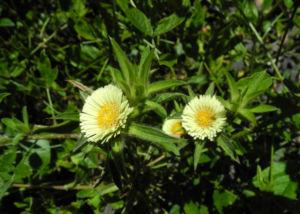 Weidenblaettrige Eberwurz Bluete gelb Carlina salicifolia 07
