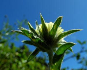 Weidenblaettrige Eberwurz Bluete gelb Carlina salicifolia 08