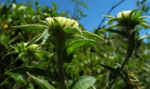 Weidenblaettrige Eberwurz Bluete gelb Carlina salicifolia 09