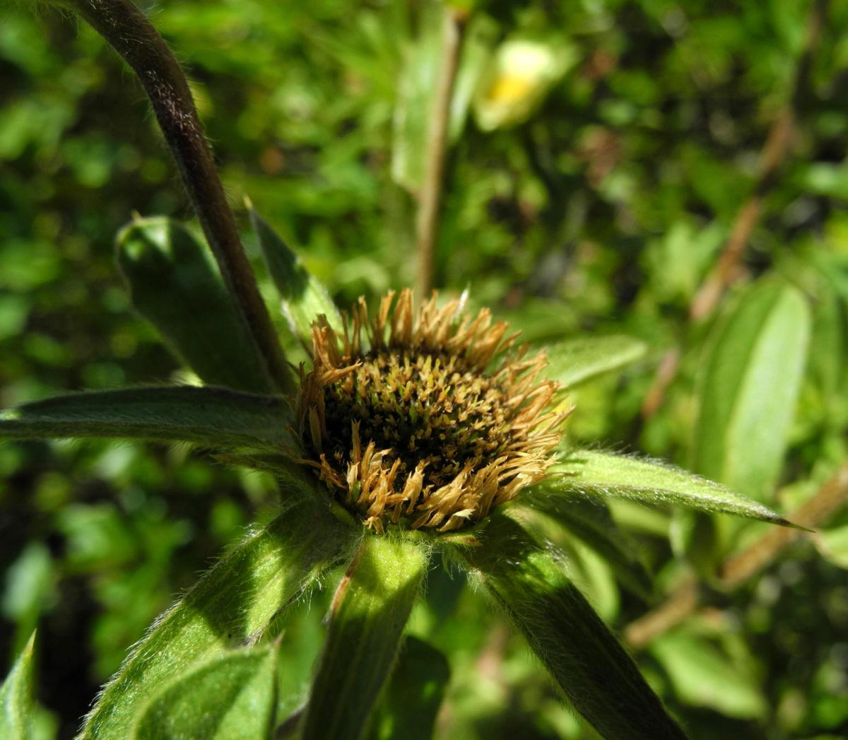 Weidenblaettrige Eberwurz Carlina salicifolia