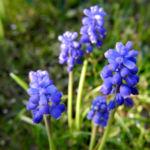 Weinbergs Traubenhyazinthe Bluete blau Muscari neglectum 10