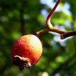 Weisdorn rote Frucht Crataegus 01