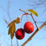 Weissdorn Baum Frucht rot Crataegus microphytta 02